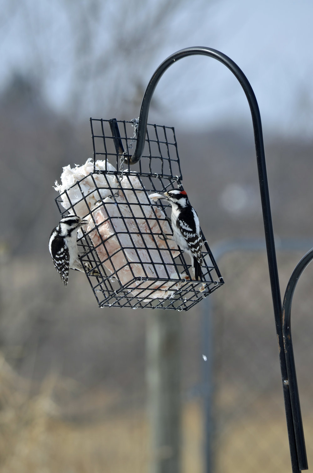 Downy woodpeckers munching on suet. Photo by Mark Martin