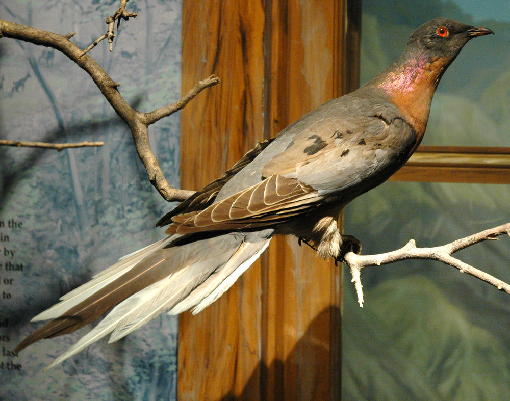 Male passenger pigeon, on display at the Cleveland Museum of Natural History. Photo by James St. John