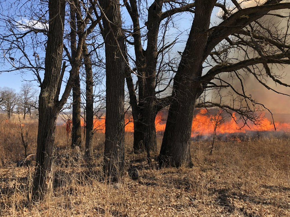 Bur oaks and fire in the Uplands South. Photo by Drew Harry
