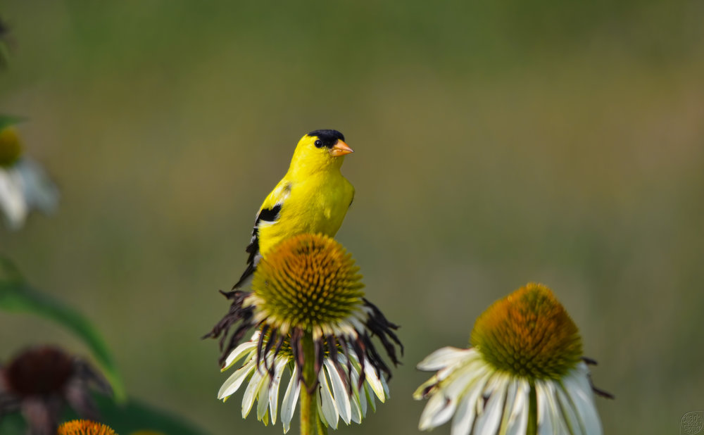 american goldfinch madison audubon