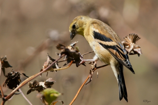 Goldfinch_by_Kelly_Colgan_Azar_550_365.jpg