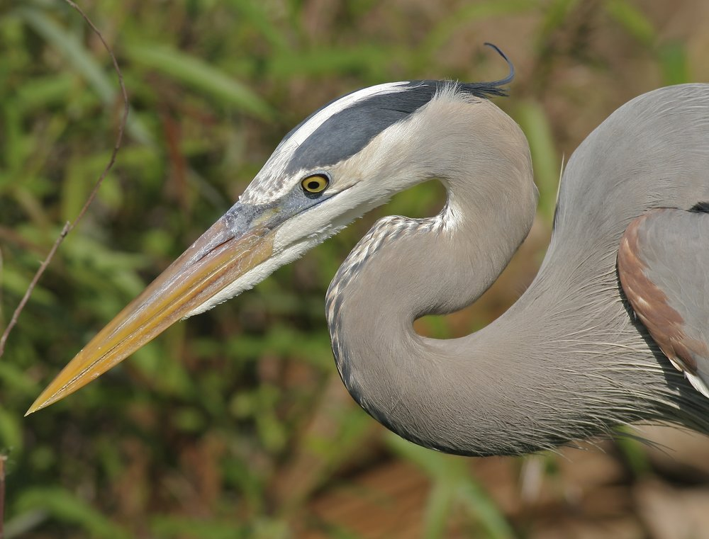 Great-blue Heron by Arlene Koziol