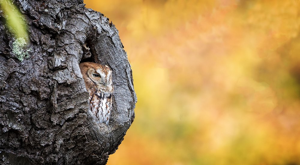 Eastern Screech Owl by Phil Brown