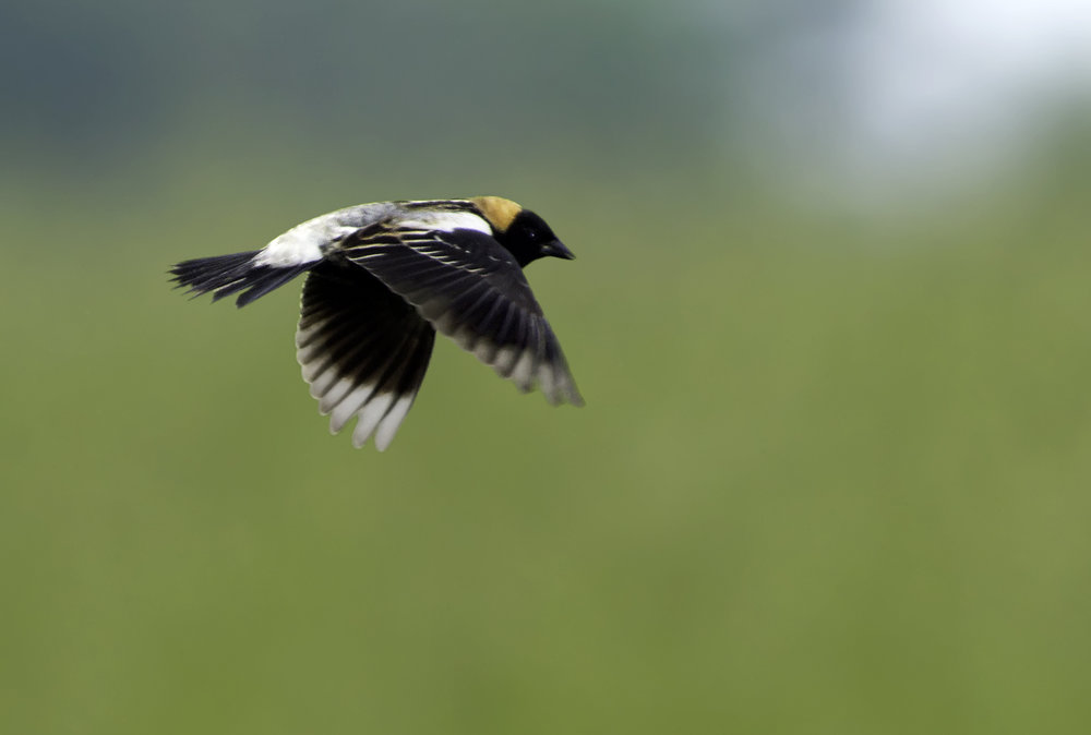 This striking bobolink needs grasslands to nest. Photo by Kelly Colgan Azar
