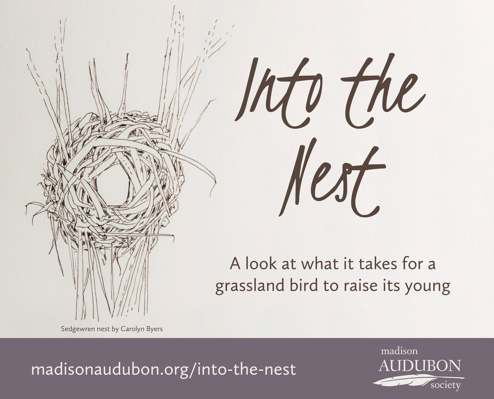 This new mini-series highlights the fascinating and marvelous ecology of grassland bird nesting, written by Madison Audubon education director Carolyn Byers.  Click here  for all Into the Nest posts.