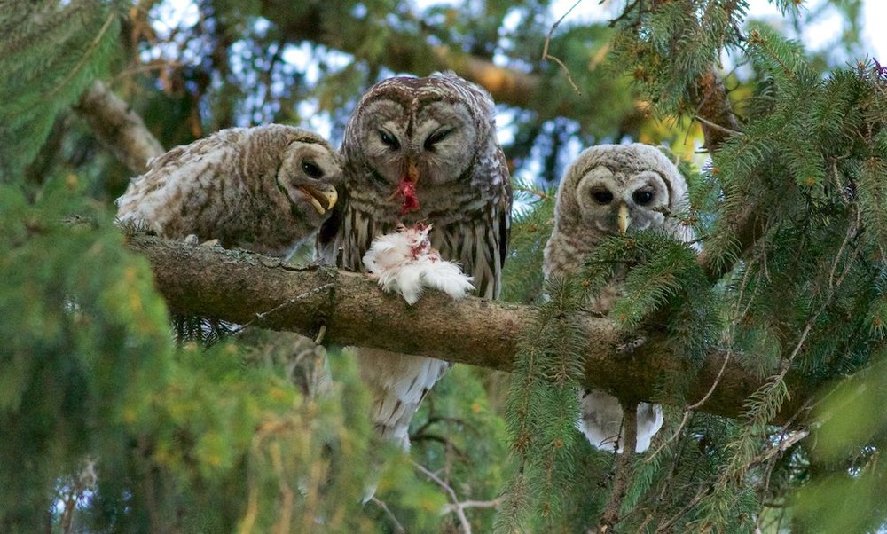 Arlene Koziol photographed a barred owl family at the Lakeshore Nature Preserve in Madison, which includes three young. The atlas welcomes all photographs. Photo by Arlene Koziol