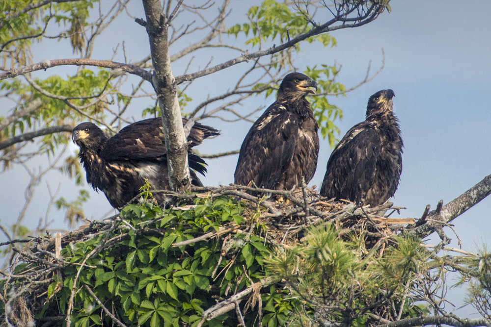 Bald eagle nests are increasing in Columbia County. Photo by Richard Armstrong
