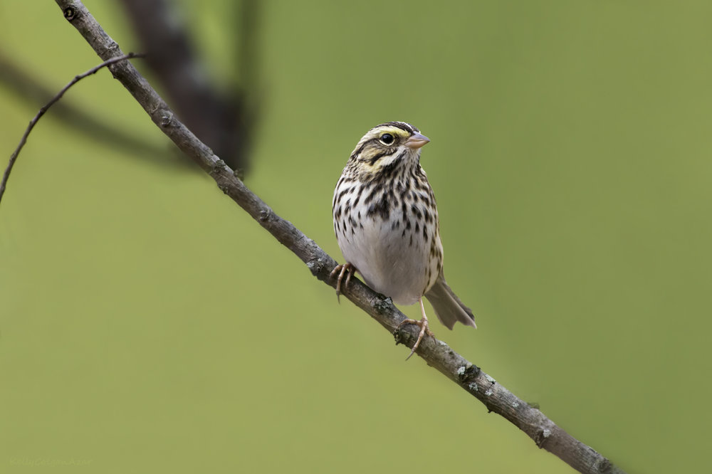 Savannah sparrows are a classic grassland obligate, not to mention adorable. Photo by Kelly Colgan Azar