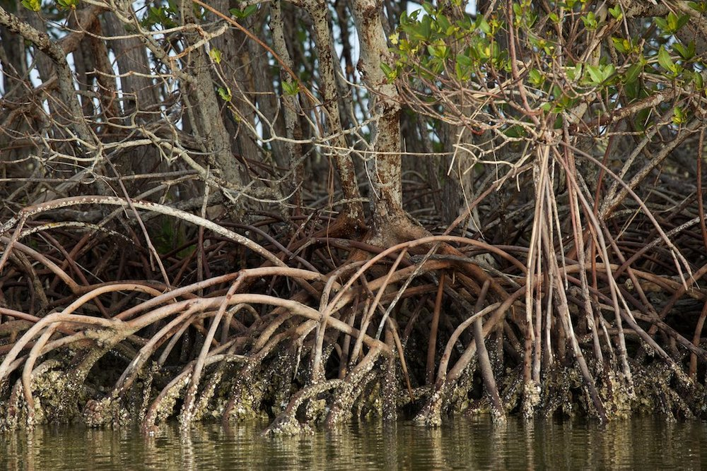 Mangrove forest, photo by Arlene Koziol