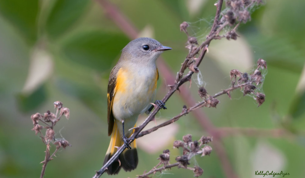 American redstart, first year male, photo by Kelly Colgan Azar