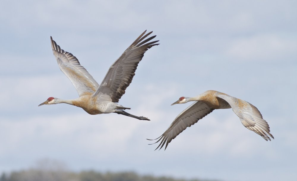 Sandhill crane pair flying into Goose Pond, 2001. Photo by Arlene Koziol