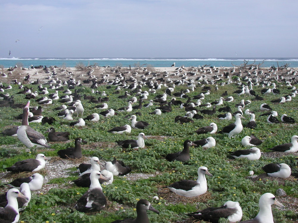 Not a prairie. But a good example of small territories used only for nest placement in albatross colonies. Photo by USFWS Pacific Region
