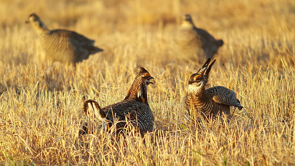 Two males compete to see which is most fit, and females wait in the background assessing their options. Prairie chickens are grassland obligates that nest in central Wisconsin. Photo by Don Henise