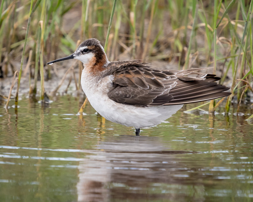 Wilson's phalarope, photo by Becky Matsubara