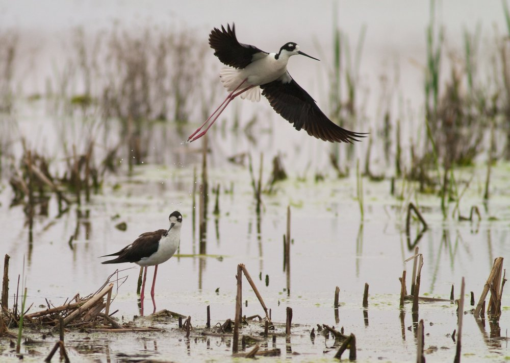 Black-necked stilts, photo by Arlene Koziol