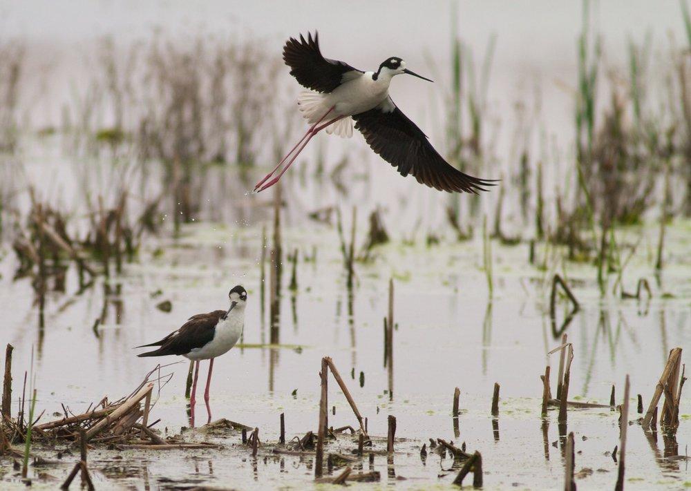 Black-necked stilts, photo by Arlene Koziol