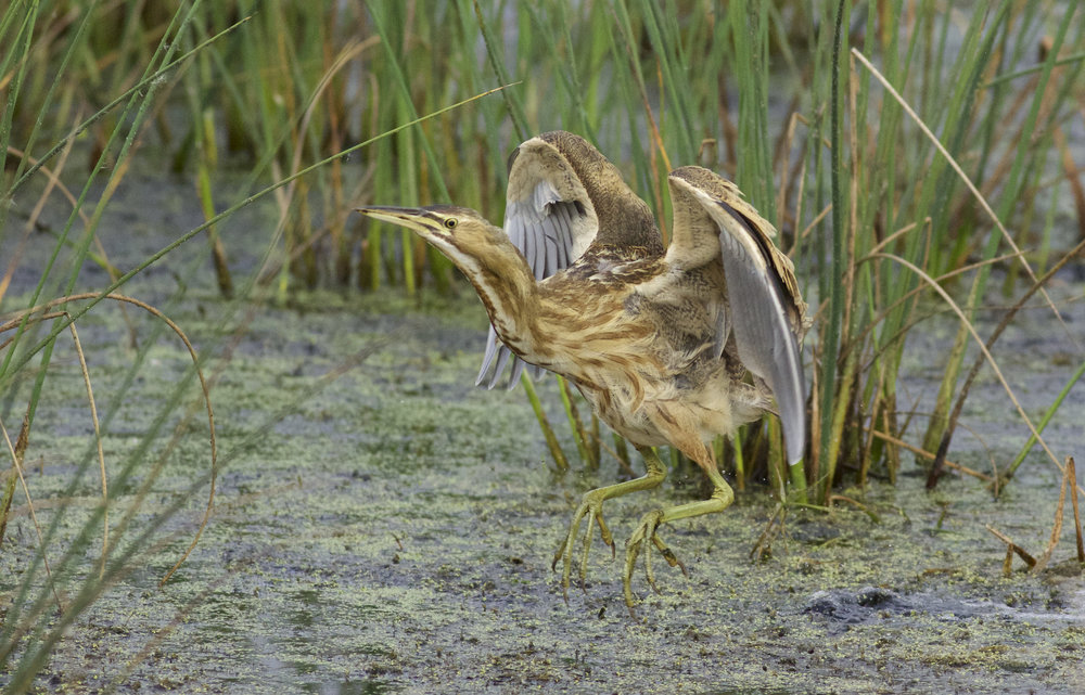 American bittern, photo by Arlene Koziol