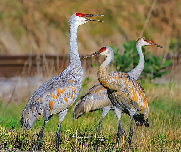 Sandhill cranes. Photo by Monica Hall