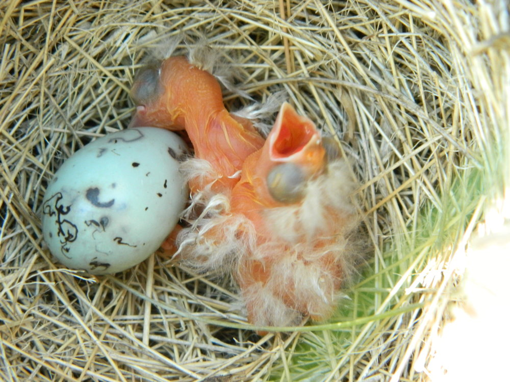 These altricial red-winged blackbird chicks are helpless and totally reliant on their parents. They are just minutes old now, and will remain in the nest receiving care for another 11-14 days. Photo by Carolyn Byers