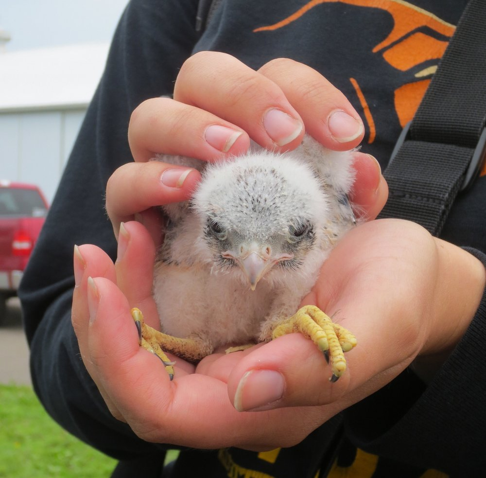 Thanks to Brand and his collaboration with the Central Wisconsin Kestrel Research program, this young kestrel was banded on June 15, 2018. MAS Photo