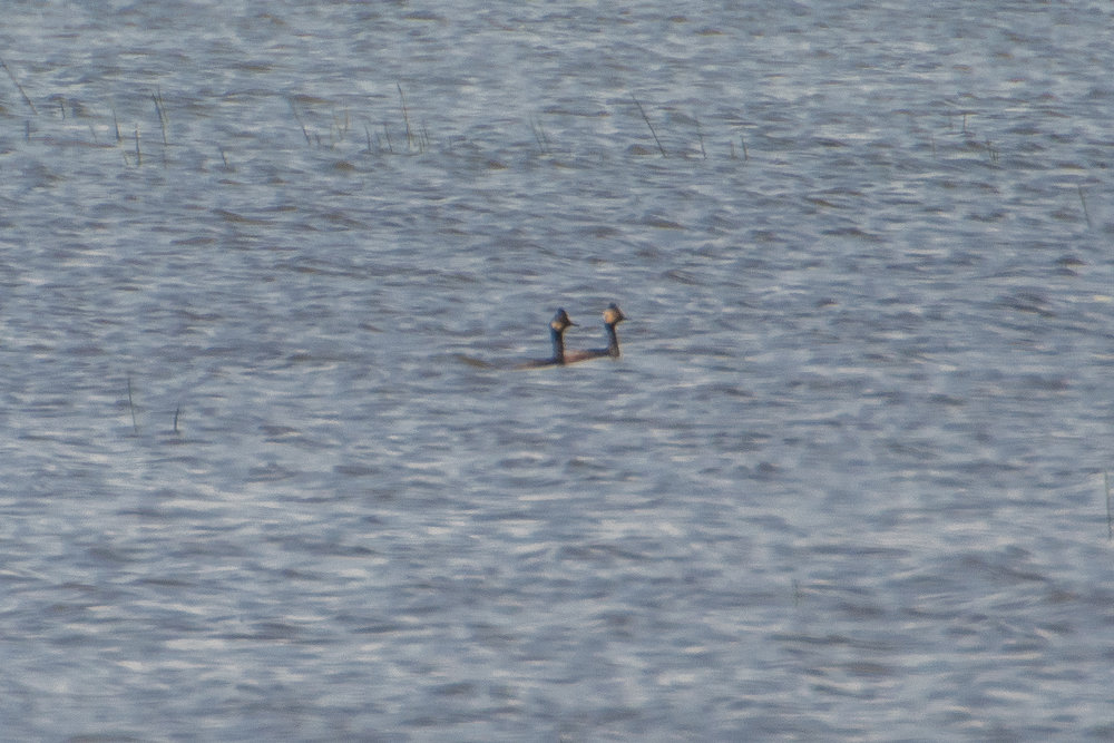 Eared grebe pair at Goose Pond. Photo by Richard Armstrong