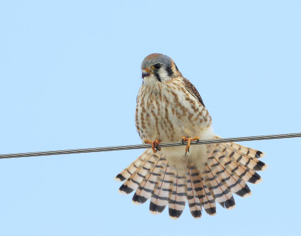 A female kestrel surveys the land at MAS Goose Pond Sanctuary for unassuming prey. Photo by Jim Stewart