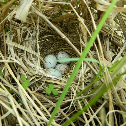 Photo by Carloyn Byers. Read more about Henslow's sparrow nesting in our    Into the Nest series   .