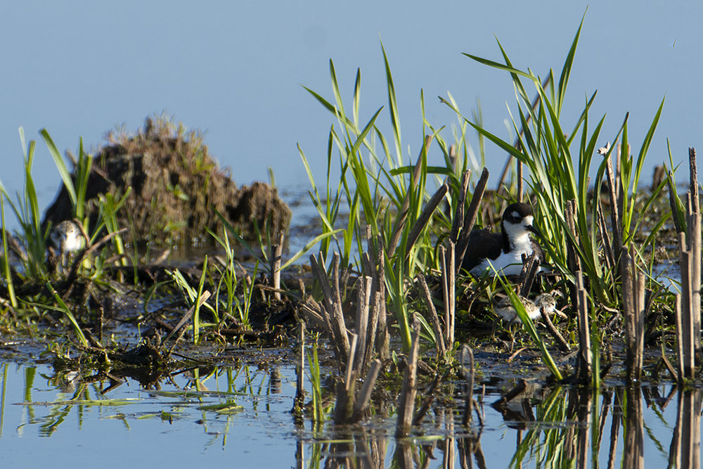 Black-necked stilt parent and chicks. Photo by Richard Armstrong