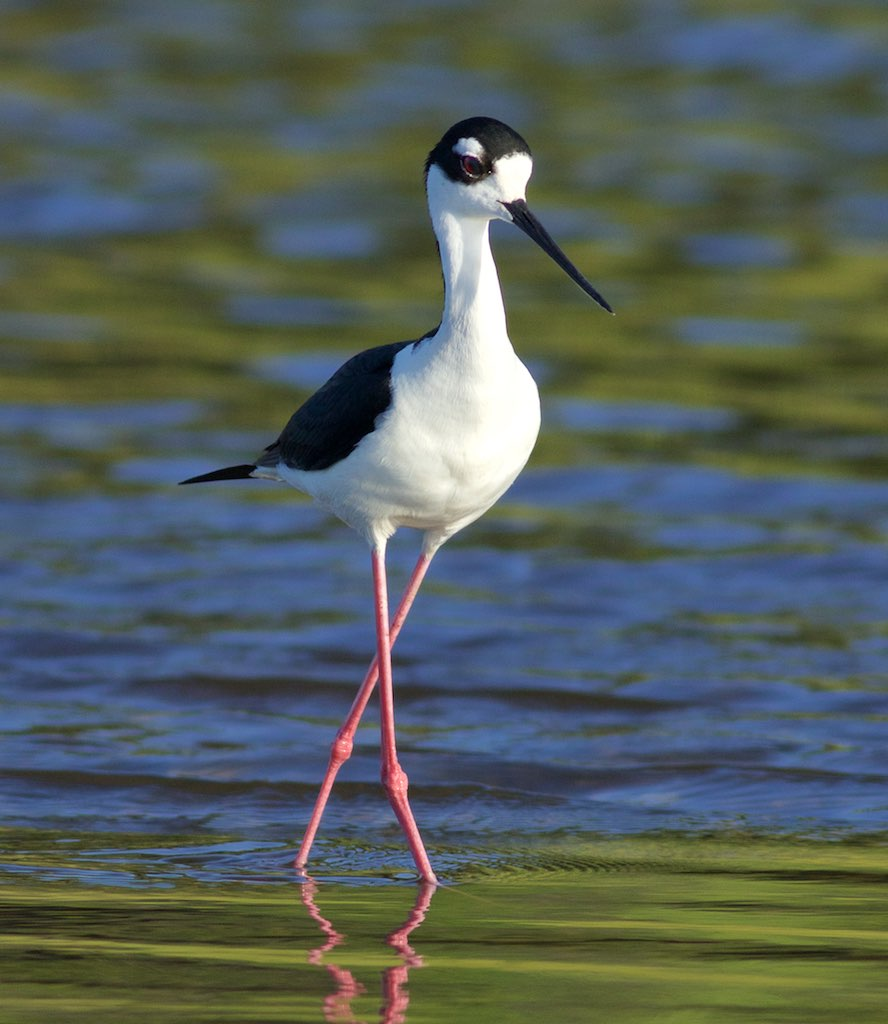 Black-necked stilt ready for its glamour shot. Photo by Arlene Koziol