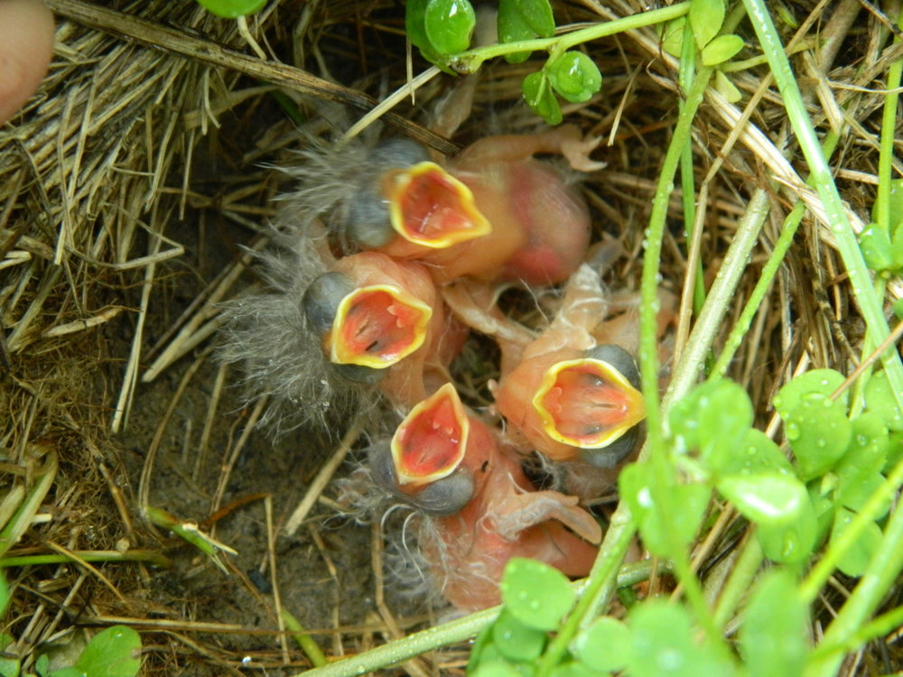 These grasshopper sparrow chicks are just hours old, and HUNGRY. Photo by Carolyn Byers