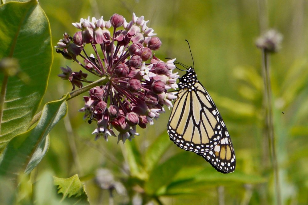 A monarch sips nectar from a common milkweed plant during the Goose Pond Butterfly Count this summer. Photo by Gail Smith