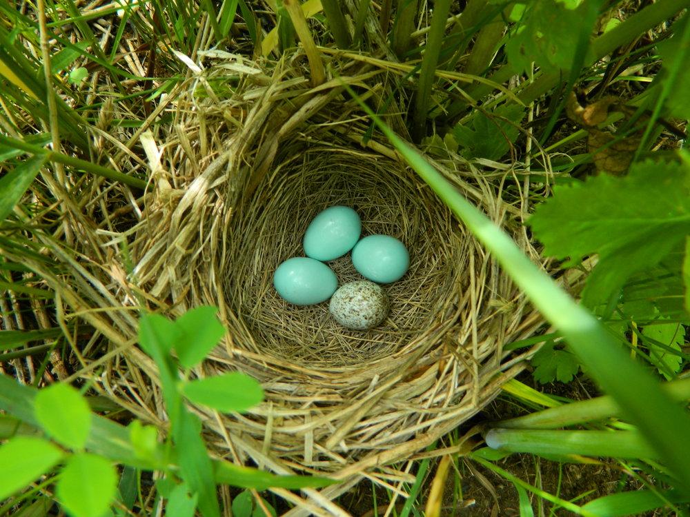 Dickcissel nest with cowbird egg.JPG