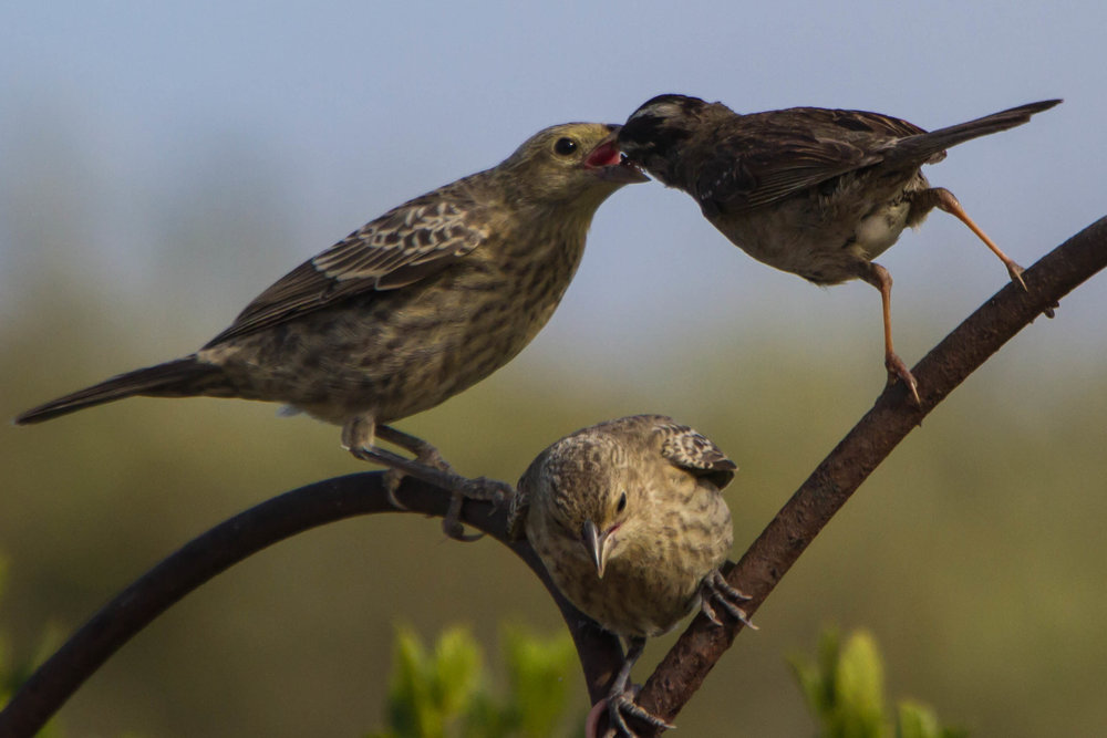 This adult white-crowned sparrow (right) looks tiny next to its cowbird foster child! Photo by Dawn Beattie