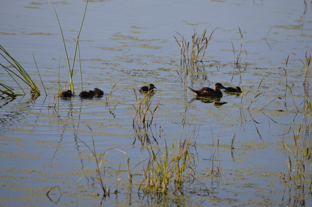 A delightful little brood of ruddy fuzzballs follows mama on September 1, 2016 at DM and I, south of Goose Pond. Photo by Mark Martin