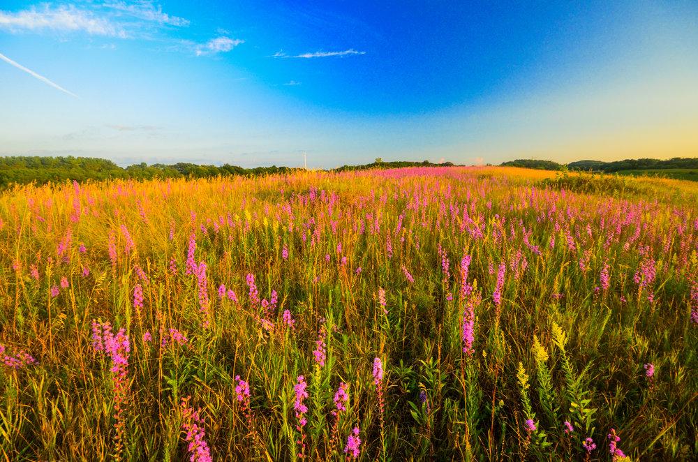 This blissful grassland carries as much opportunity as threat to grassland nesting birds. Photo by Joshua Mayer