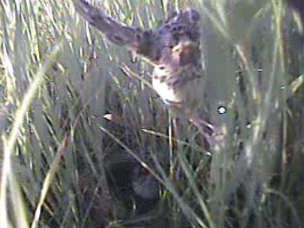 This grasshopper sparrow chick is finally spreading its wings!