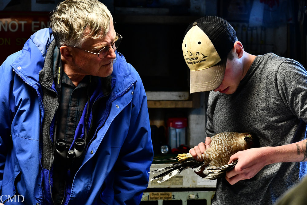 Doug Steege observing Andrew, intern, counting primary and secondary feathers on a cooper's hawk. Photo by Catherine Drexler