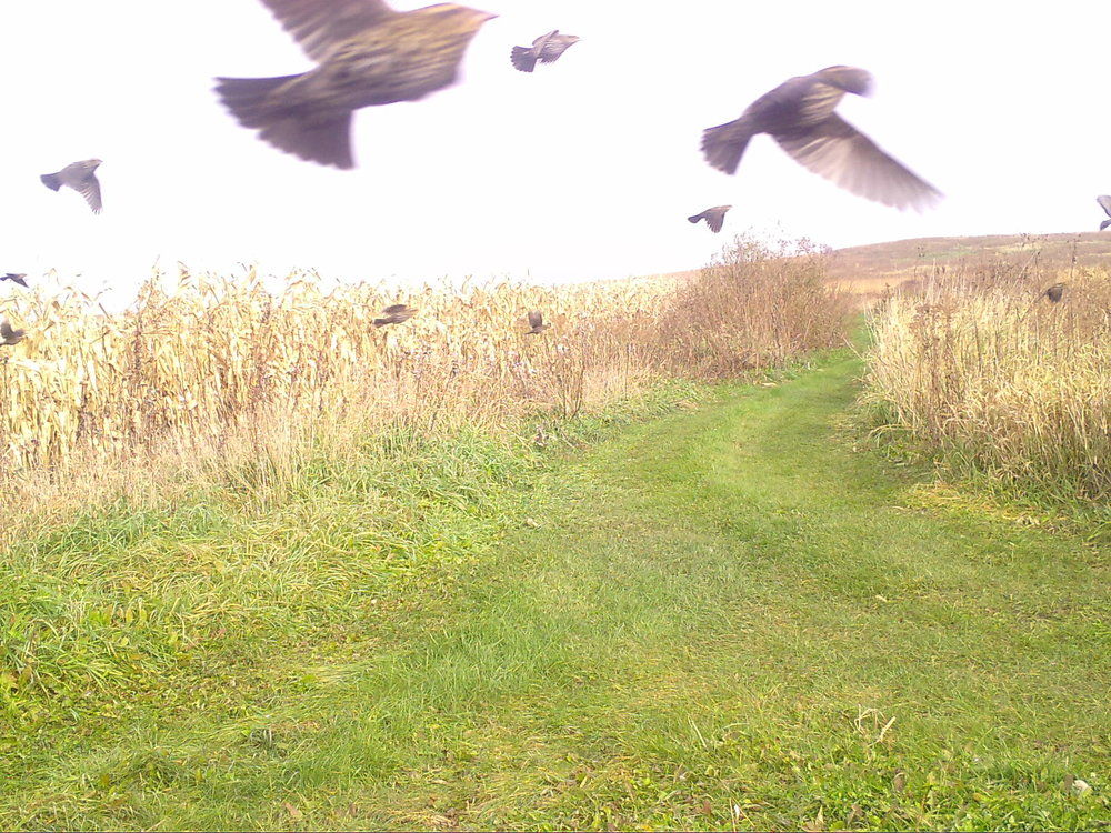 A flock of red-winged blackbirds move through Goose Pond Prairie. Photo taken by Goose Pond's DNR Project Snapshot trail camera.