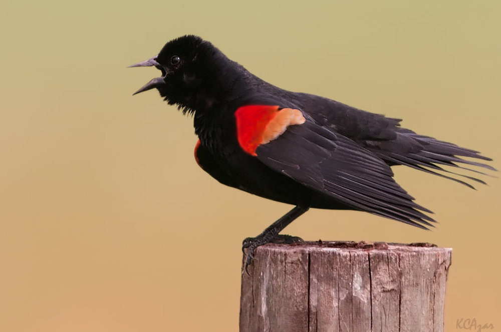 A male red-winged blackbird sings his heart out. Photo by Kelly Colgan Azar