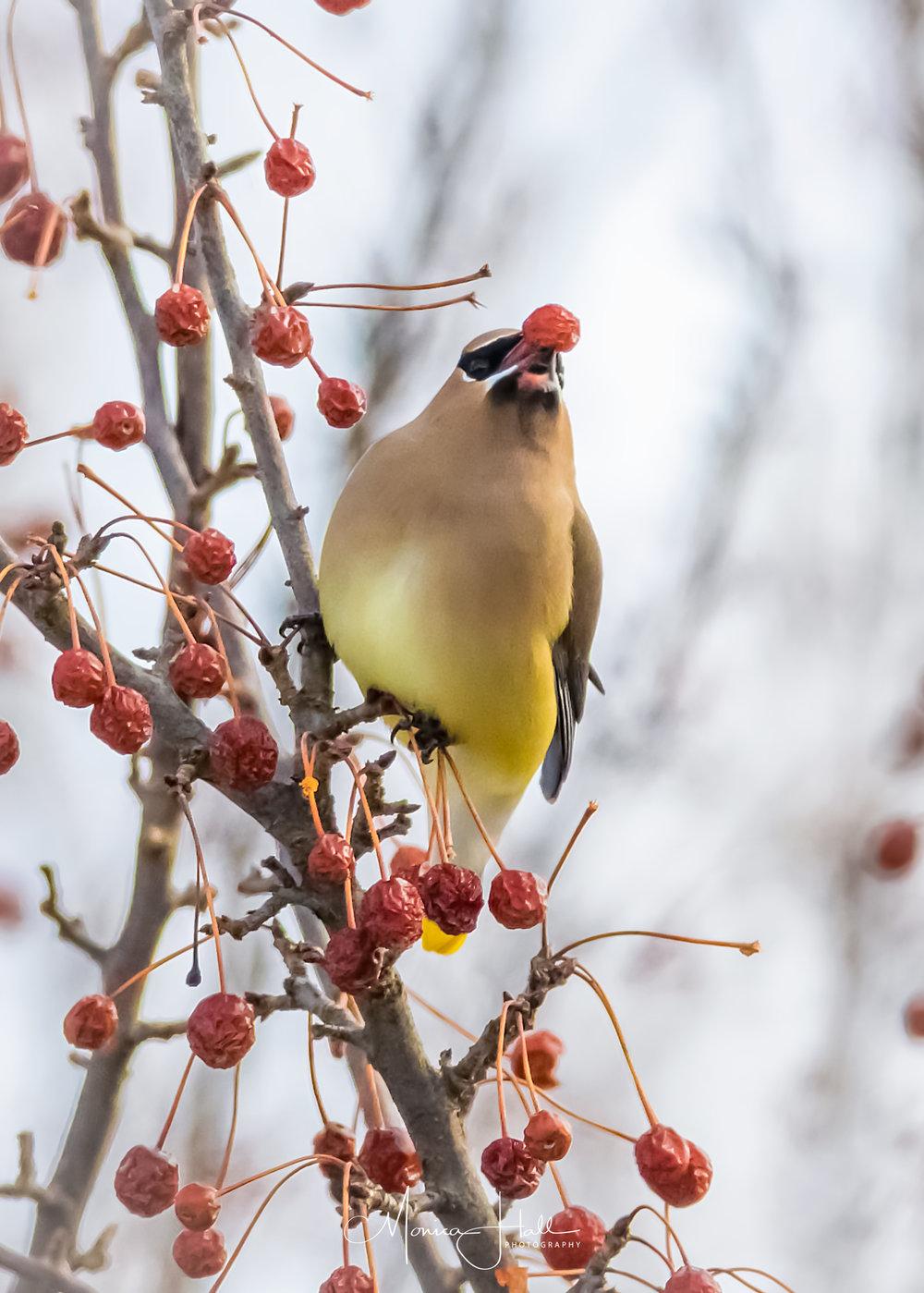Cedar waxwing feasts on berries in winter. Photo by Monica Hall