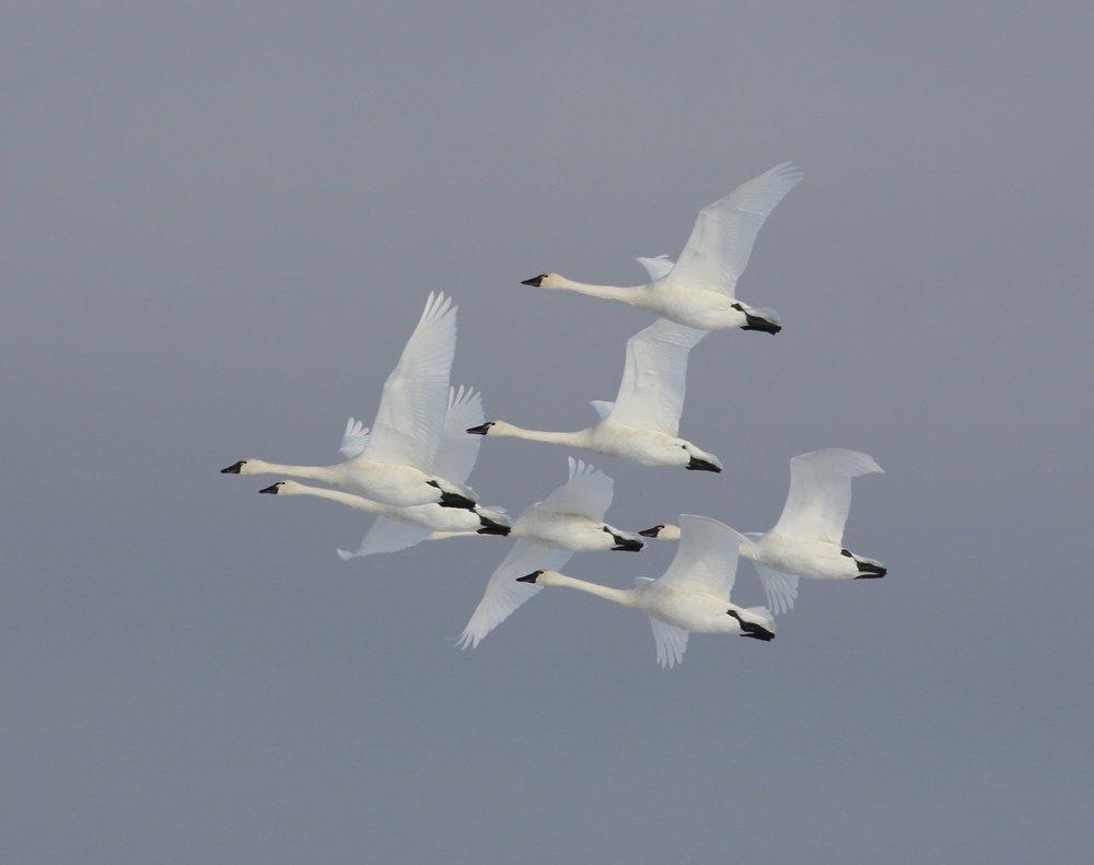 Tundra swans ( Cygnus columbianus ) in flight.  Photo by Terrill Knaack