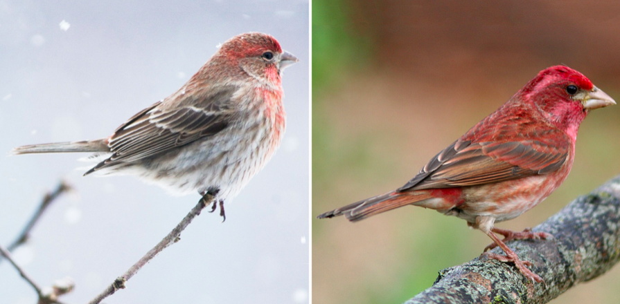 House (left) and purple finch (right).  Photo by National Audubon Society