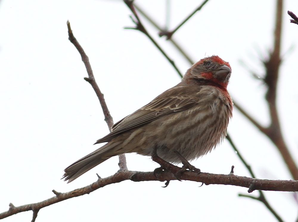 This house finch suffers from conjunctivitis.  Photo by Fyn Kynd
