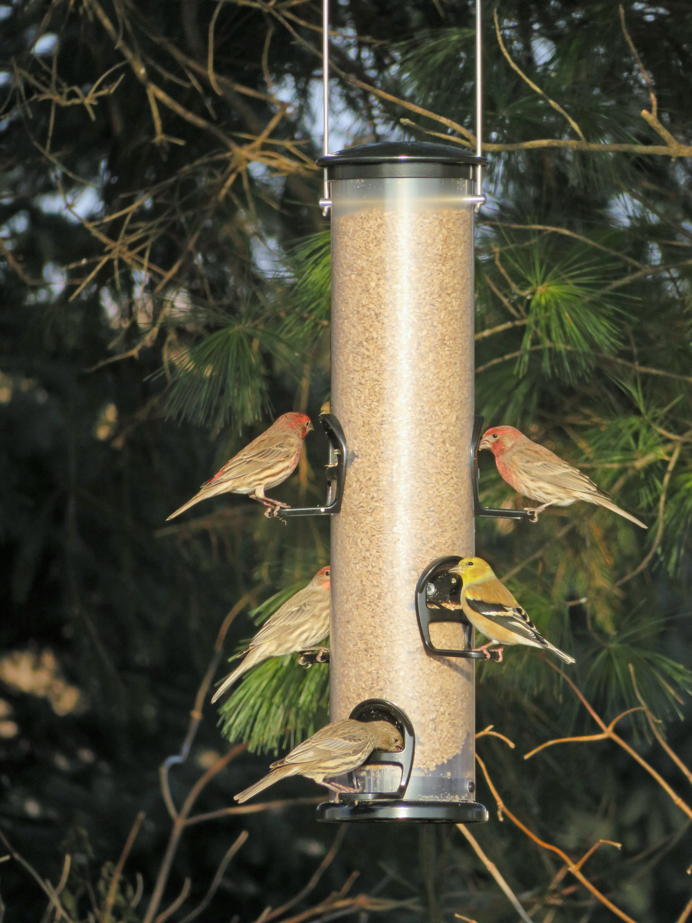 House finches and American goldfinches are feeding on an Eco-clean feeder stocked with sunflower medium chips at Goose Pond Sanctuary.  Photo by Mark Martin