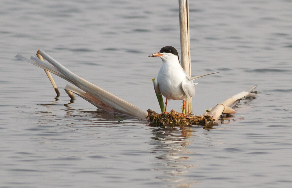 Female Forester's tern. Photo by Arlene Koziol