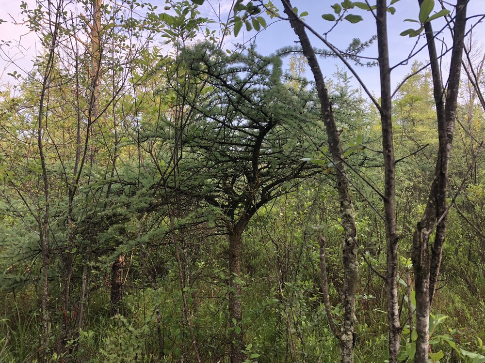A brushy tangle of tamaracks and understory. Photo by Drew Harry