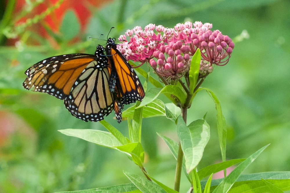 Monarchs looooove milkweed! Learn more about how you can support these butterflies and other wildlife at Madison Audubon's booth at the Garden Expo, Feb. 8-10, 2019. Photo by Arlene Koziol
