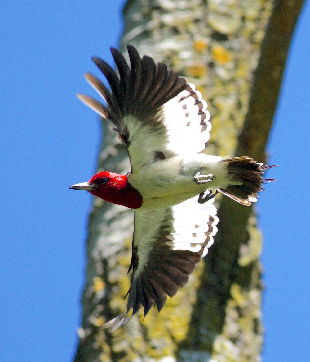 A red-headed woodpecker in flight. Photo by Arlene Koziol
