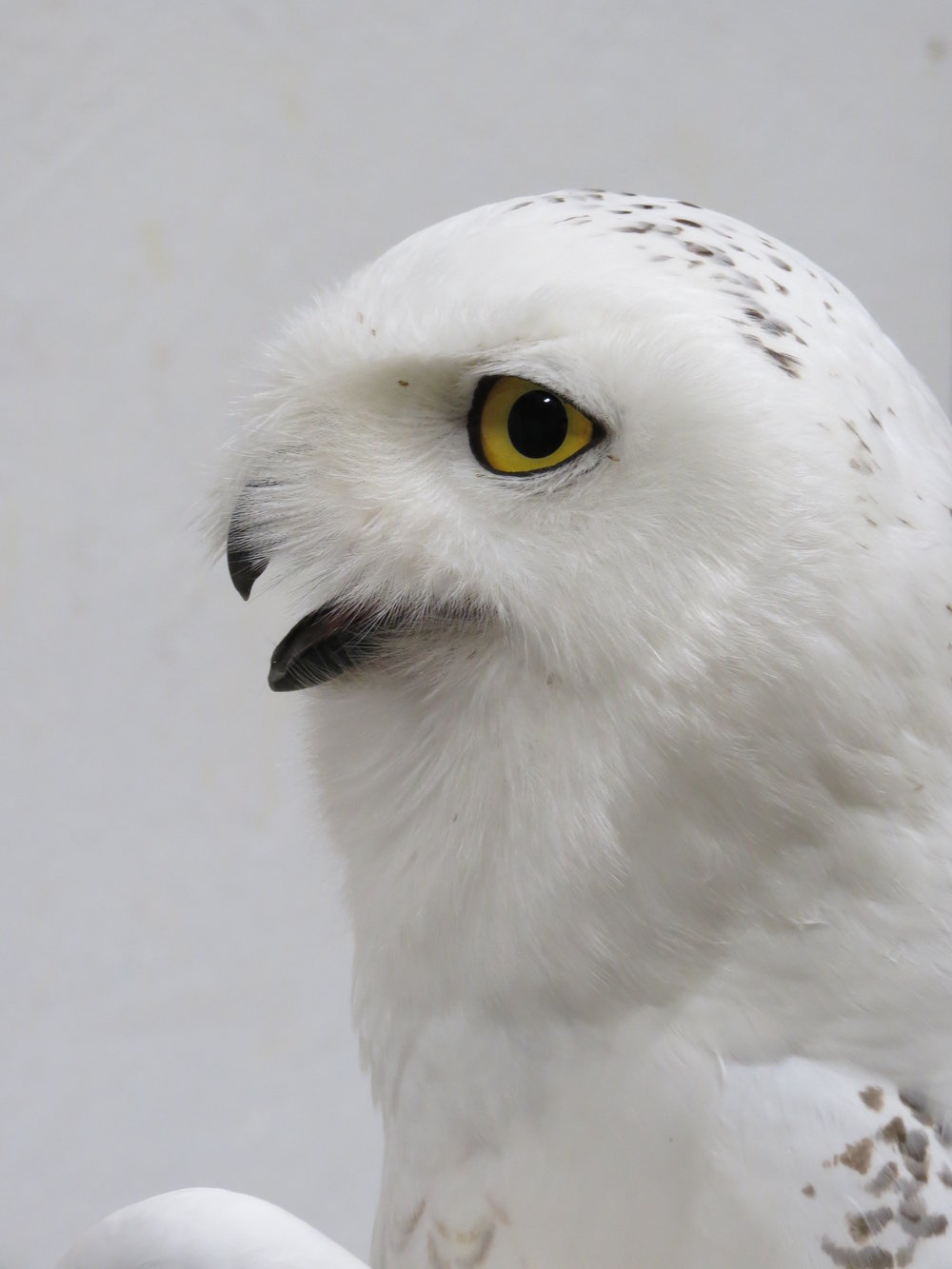 Coddington, the snowy owl outfitted with Arlington's transmitter, in profile. Photo by Brad ZInda.