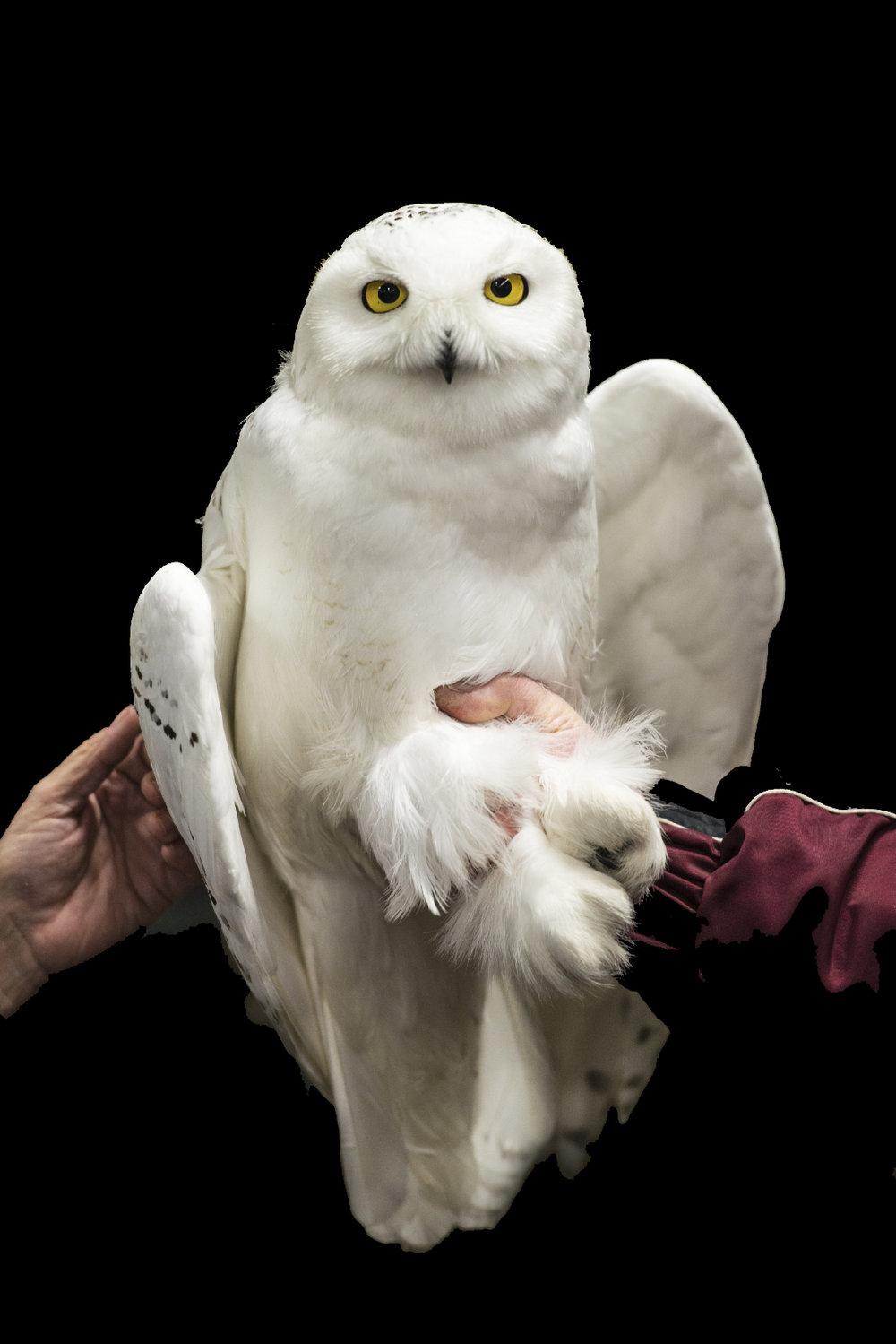 Goose The Owl_Richard Armstrong.jpg